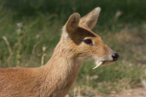 Musk deer MUSK DEER Tibet Nature Environmental Conservation Network