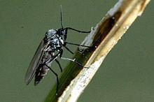 Mycetophilidae Mycetophilidae Wikipedia