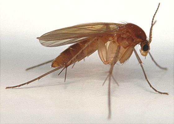 Mycetophilidae Fungus Gnat Mycetophilidae BugGuideNet