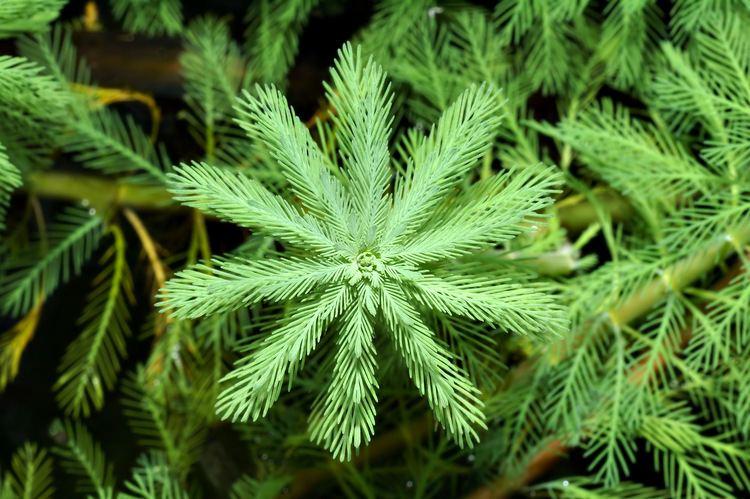 Myriophyllum aquaticum Myriophyllum aquaticum Vellozo Verdcourt Checklist View