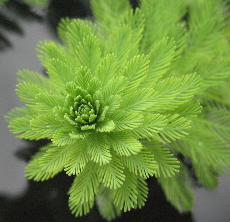 Myriophyllum aquaticum Plants amp Flowers Myriophyllum aquaticum