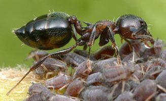 Myrmicinae tolweborgtreeToLimagesCreCer2reducedjpg