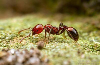 Myrmicinae Alex Wild Photography Photo Keywords ant myrmicinae