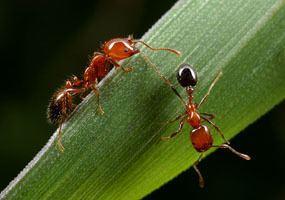 Myrmicinae Myrmicinae