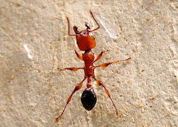 Myrmicinae Subfamily Myrmicinae Myrmicine ants