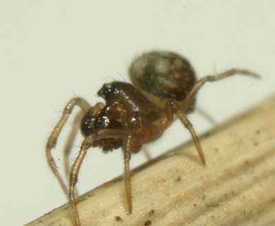 Mysmenidae Mysmenidae Wiki des SpinnenForums
