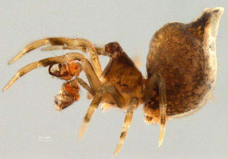Mysmenidae MYSMENIDAE Minute Litter Spiders