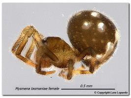 Mysmenidae tolweborgtreeToLimagesMysmenidae0261200ajpg