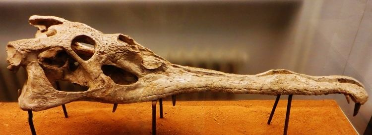Mystriosuchus FileMystriosuchus westphali skullJPG Wikimedia Commons