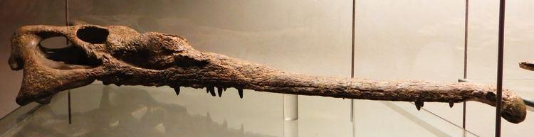 Mystriosuchus FileMystriosuchus planirostris skullJPG Wikimedia Commons