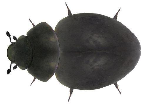 Myxophaga Minute Bog and Skiff Beetles Suborder Myxophaga iNaturalistorg
