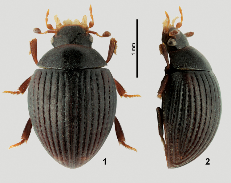 Myxophaga An aberrant species of Nipponocercyon from Sichuan China