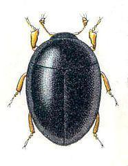 Myxophaga httpsuploadwikimediaorgwikipediacommonsthu