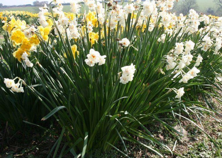 Narcissus (plant) - Alchetron, The Free Social Encyclopedia