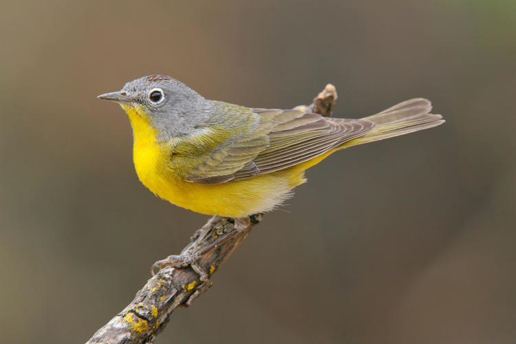 Nashville warbler Nashville Warbler Audubon Field Guide