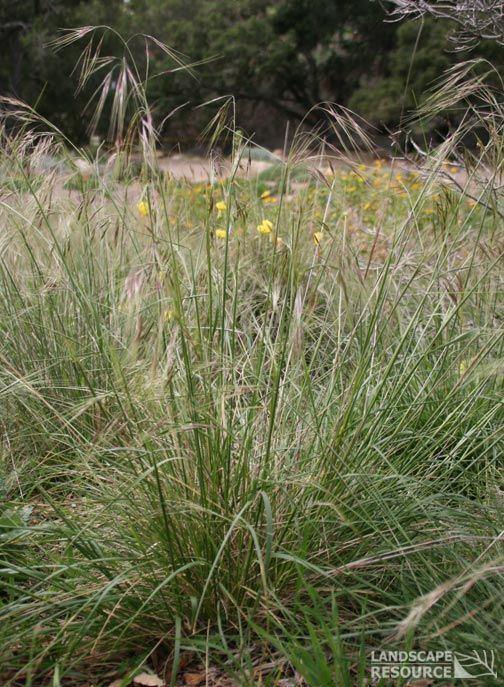 Nassella pulchra Stipa pulchra quotPurple Needle Grassquot Alsopreviously quotNassella