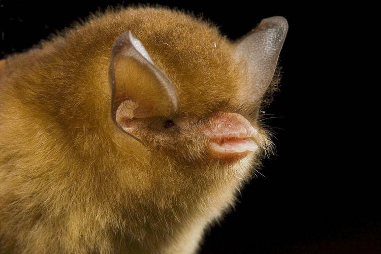 Natalus Funneleared Bat Natalus stramineus Mexico portrait Bruce