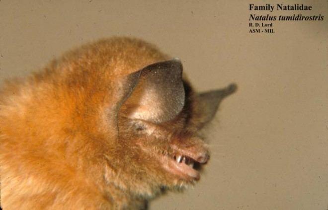 Natalus Natalus tumidirostris Trinidadian funneleared bat