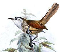 Necklaced spinetail httpsuploadwikimediaorgwikipediacommonsthu