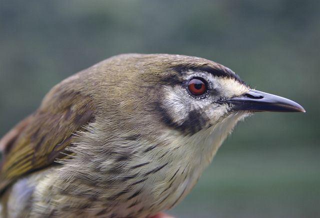 Negros striped babbler Oriental Bird Club Image Database Photographers