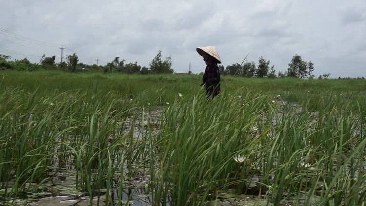 Nelumbo (film) movie scenes LongAn Vietnam july 7 Farmers are picking white lilies to the market to sell
