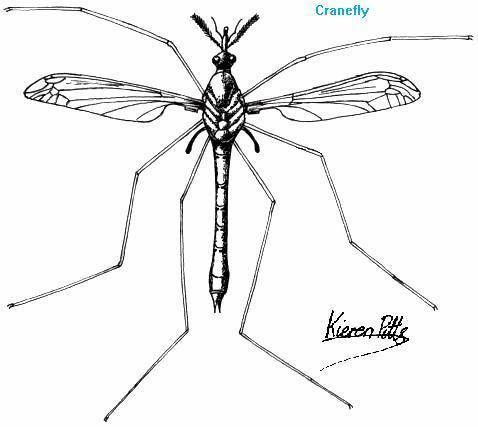 Nematocera Gordon39s Nematocera Simple Flies Page