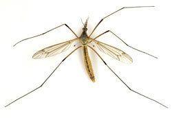 Nematocera phoridnetzadbiwpcontentuploads201302tip4jpg