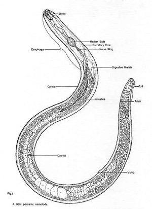 Nematode soilinhabiting nematodes Phylum Nematoda