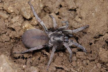 Nemesiidae Nemesiidae