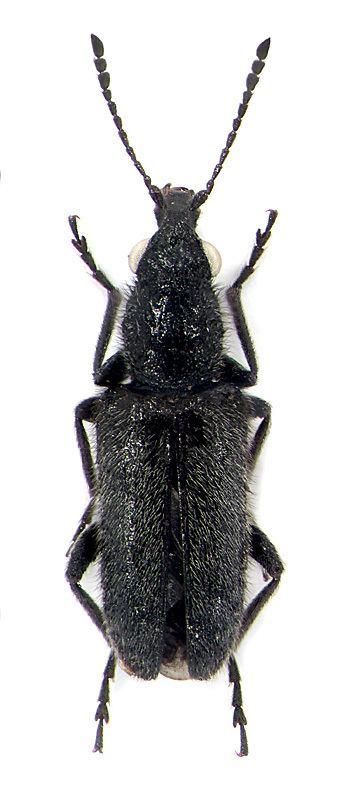 Nemonychidae Nemonyx lepturoides F Nemonychidae