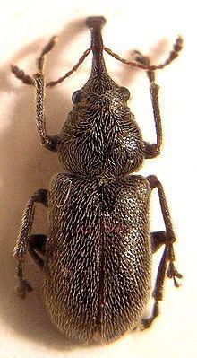Nemonychidae Nemonychidae Wikipedia