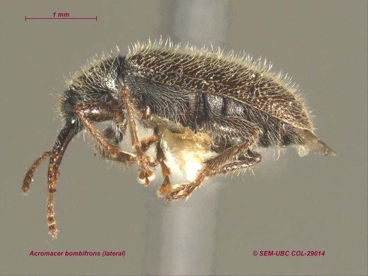 Nemonychidae Nemonychidae