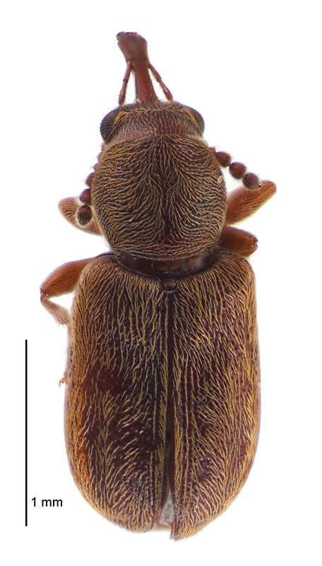 Nemonychidae Nemonychidae Image gallery Landcare Research