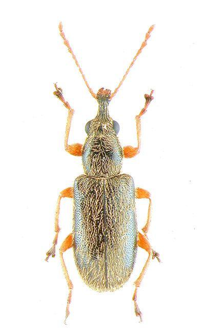 Nemonychidae Gyrgy Zoltn weboldala leszelnyflk Nemonychidae Bedel 1882