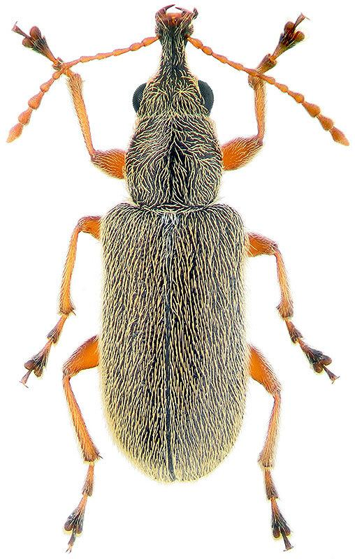 Nemonychidae Cimberis attelaboides F 1787 Nemonychidae