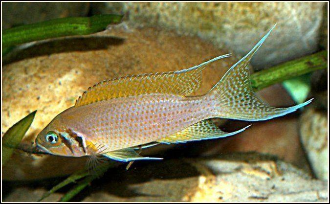Neolamprologus pulcher malawicichlidscanada Neolamprologus pulcherjpg