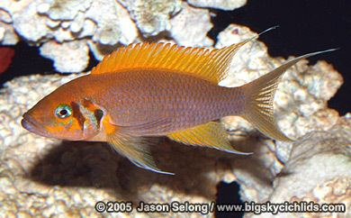 Neolamprologus pulcher Big Sky Cichlids Neolamprologus pulcher quotdaffodilquot