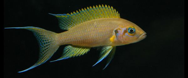 Neolamprologus pulcher tanganyikacichlidenlwpcontentuploads201104n