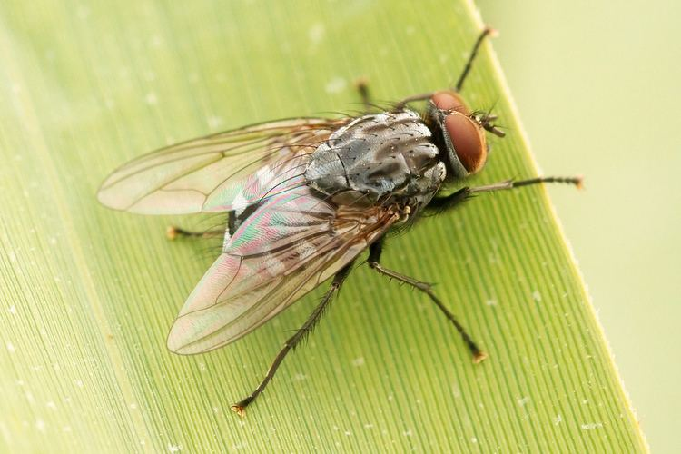 Neoptera Flying made insects more diverse All you need is Biology