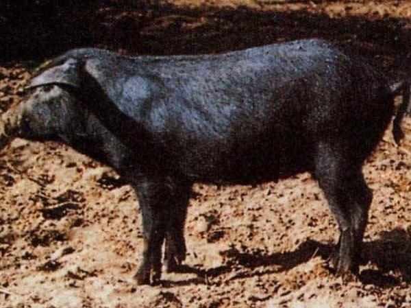 Apulo-Calabrese