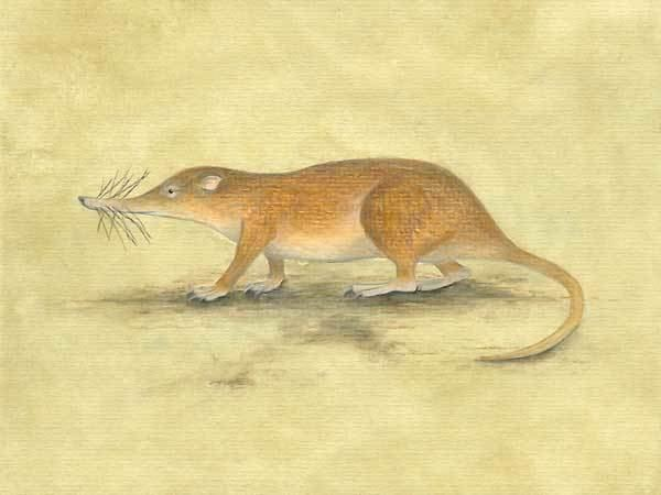 Nesophontes Ausgerottete Arten