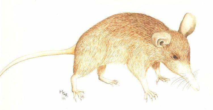 Nesophontes Extinct mammals