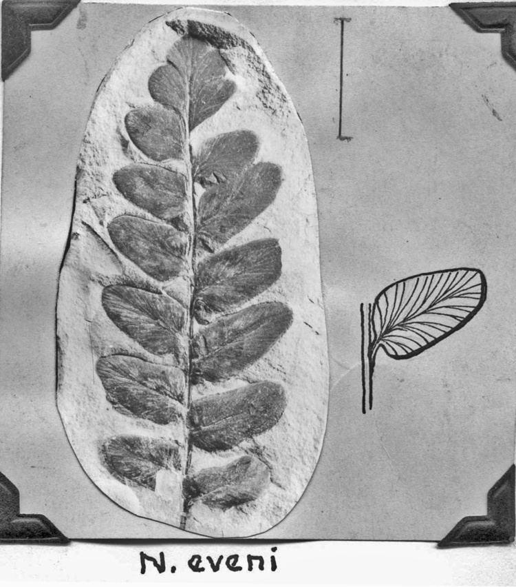 Neuropteris Neuropteris plicata N eveni N capitata and N rarinervis form