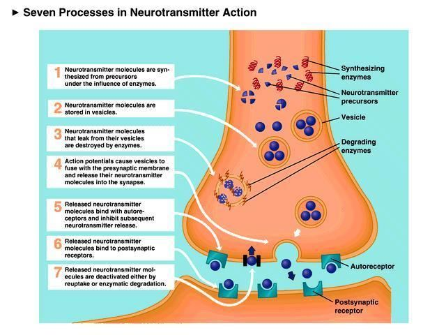Neurotransmitter Introduction to Neurons and Neurotransmitters