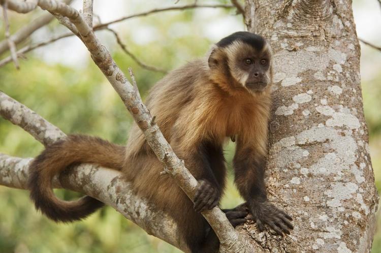 New World monkey Surprisingly Versatile Characteristics of New World Monkeys