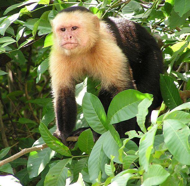 New World monkey Male New World monkeys attract females by washing in urine