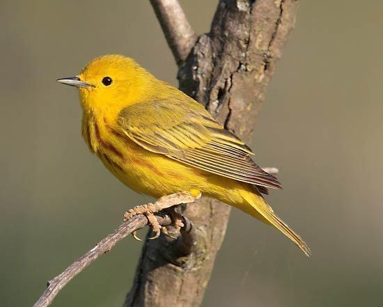New World warbler wood warbler bird Britannicacom