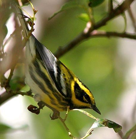 New World warbler New World Warblers