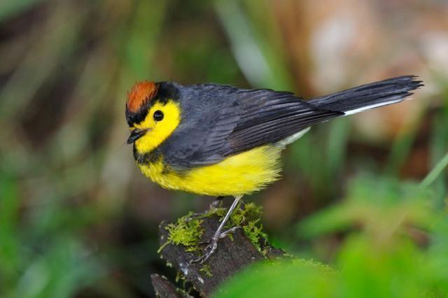 New World warbler Parulidae New World Warblers Lee39s Birdwatching Adventures Plus