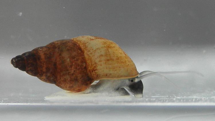 New Zealand mud snail New Zealand mud snail Wikipedia